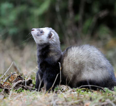 stoat: Wild polecat in forest