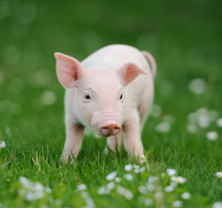 caked: Young pig on a spring green grass