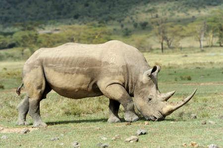Rhino in the National Reserve of Africa, Kenya photo