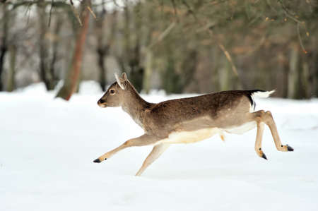 Fallow deer in winter forest photo