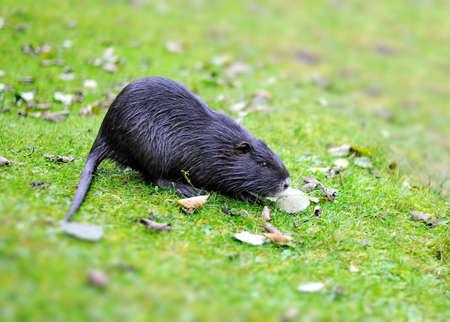 muskrat: Muskrat on a green grass