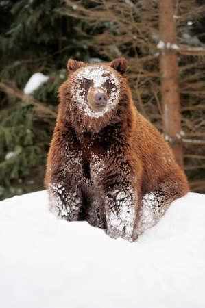 wild brown bear: Wild brown bear in winter forest
