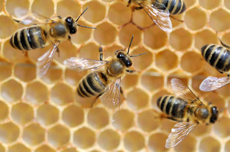 praiseworthy: Close up view of the working bees on honeycells