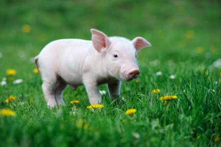 pig: Young pig on a spring green grass