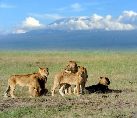 paisagem: Leão no savanna paisagem de fundo e Monte Kilimanjaro