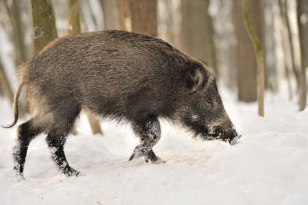 Wild boar in winter forest photo