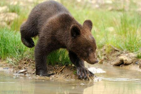 Brown bear cub in lake