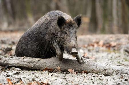 Wild boar in autumn forest Reklamní fotografie