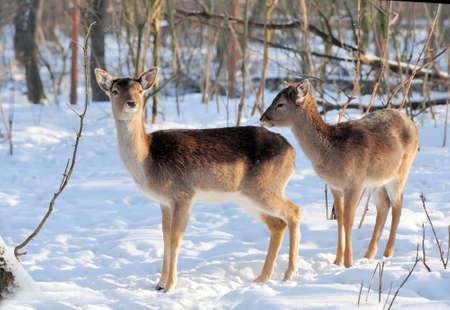 roebuck: Young deer in winter forest