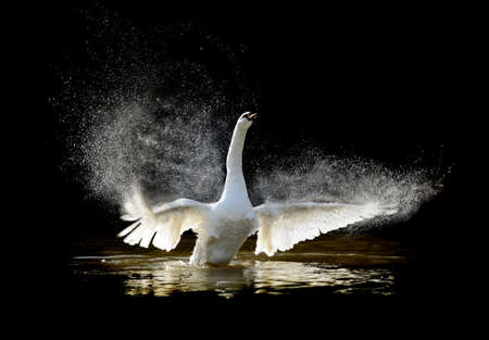 swimming swan: Swan in water and splashing water drops around Stock Photo
