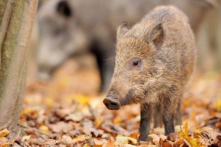 Young wild boar in forest photo