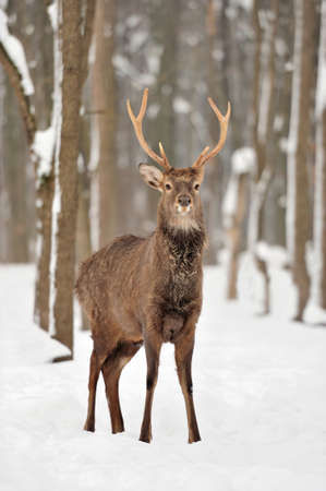Young deer in winter forest photo