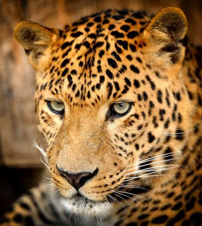 catlike: Leopard portrait
