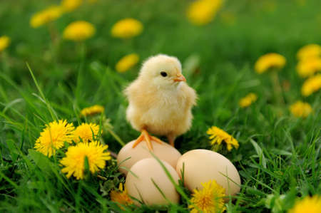 Little chicken and egg on the grass Stockfoto