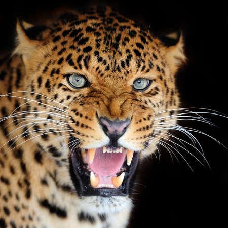 Leopard portrait sur fond sombre