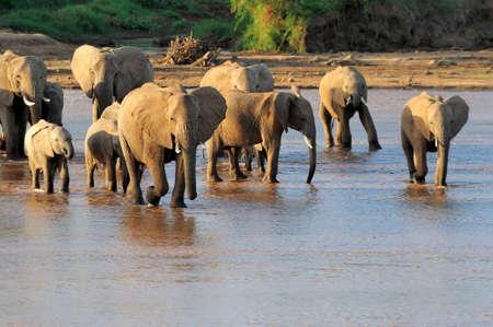 pozo de agua: Los elefantes africanos en el río. Parque Nacional de Kenia, África