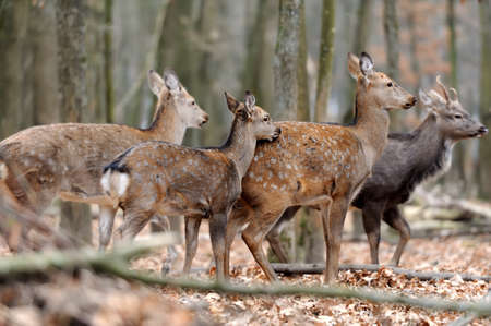 whitetail: Beautiful young red deer in forest