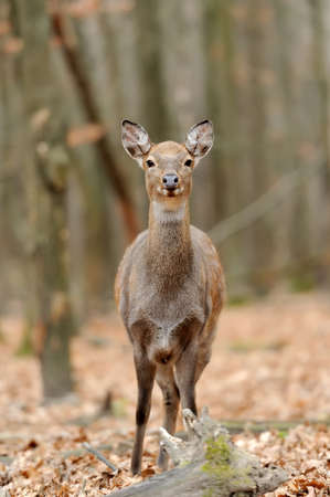 virginianus: Beautiful Red Deer in forest