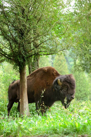 grazer: Large male of bison in the forest