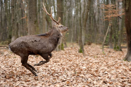 whitetailed: Beautiful Red Deer in forest