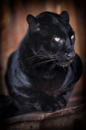 black and white panther: Close-up beautiful portrait black leopard