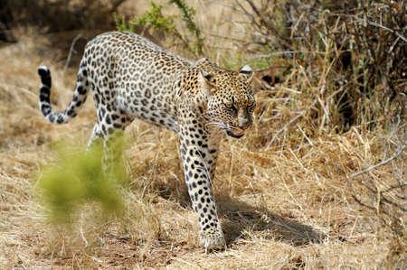 panthera pardus: African Leopard (Panthera pardus) in the National Park Stock Photo