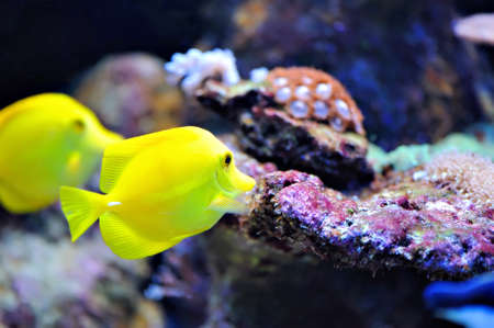 yellow tang: Photo of a tropical yellow tang on a coral reef Stock Photo