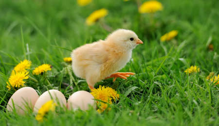Little chicken and egg in the grass on a farm photo