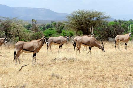 south africa soil: Gemsbok antelope (Oryx gazella), South Africa