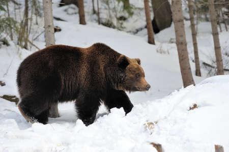 겨울 숲에서 큰 갈색 곰