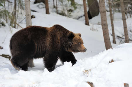 wet bear: Big brown bear in winter forest
