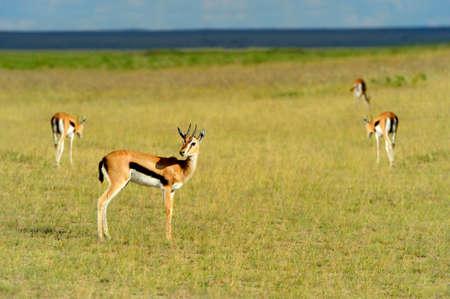 Thomsons gazelle on savanna in National park. Kenya, Africa
