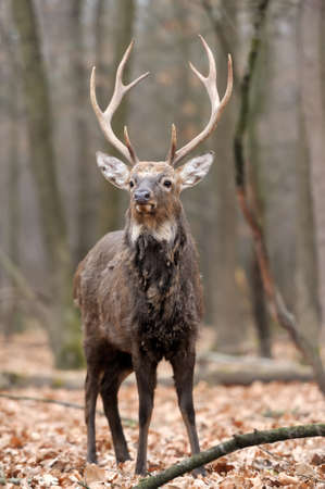 whitetail buck: Whitetail Buck Deer Stag in forest