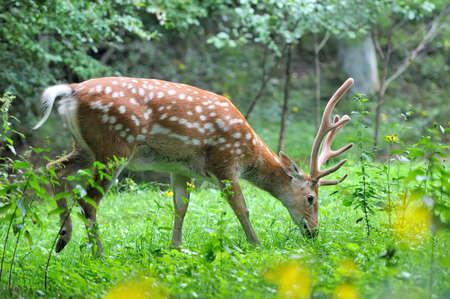 elaphus: Whitetail Deer standing in summer wood