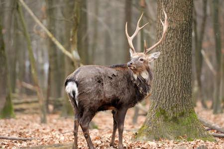 venado cola blanca: Whitetail Buck macho de los ciervos en el bosque