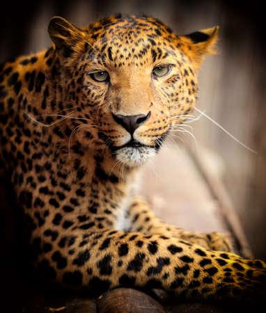 animal in the wild: Retrato de leopardo sobre fondo oscuro