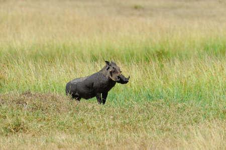 bush hog: Ejecuci�n de jabal� en el Parque Nacional, Kenia Foto de archivo