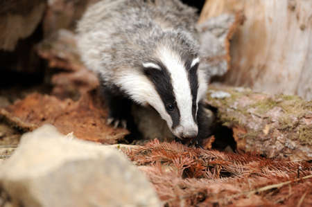 burrow: Badger near its burrow in the forest
