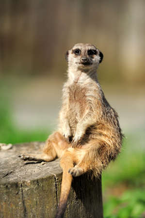 rechtop: A meerkat standing upright and looking alert
