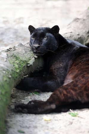 black leopard: Close-up young black leopard in nature
