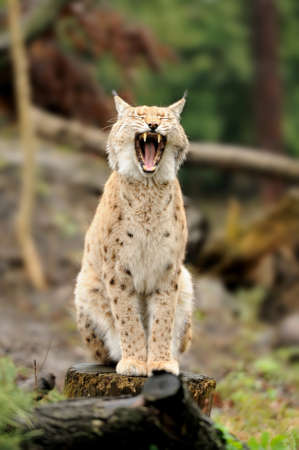 captivated: Close-up of young Eurasian Lynx in forest Stock Photo