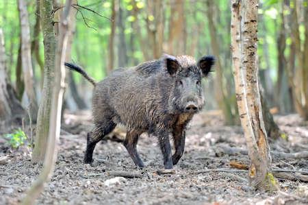 봄 숲에서 멧돼지