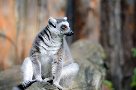 ring tailed: Ring tailed lemur on a branch Stock Photo