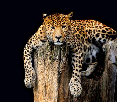 pardus: Leopard, Panthera pardus, on black background
