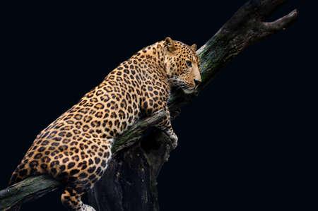 panthera pardus: Leopard, Panthera pardus, on black background