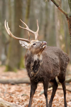 dank: Whitetail Buck Deer Stag in forest