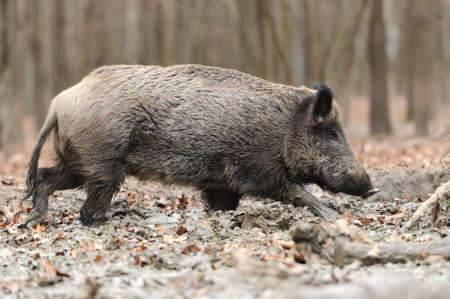 omnivores: Wild boar in wood. Boar in dirt