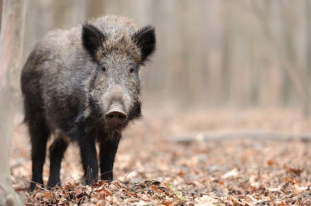 Wild boar in wood. Boar in dirt