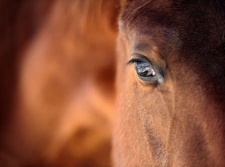 close   up: Eye of Arabian bay horse Stock Photo