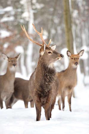 Jonge herten in de winter het bos
